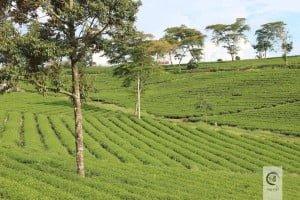 Đồi trà ô Long Bảo Lộc - luống trà