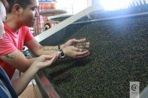 Đồi trà ô Long Bảo Lộc - nhà máy trà ô long