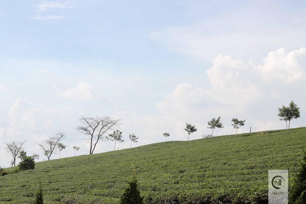 Đồi trà Ô Long Bảo Lộc