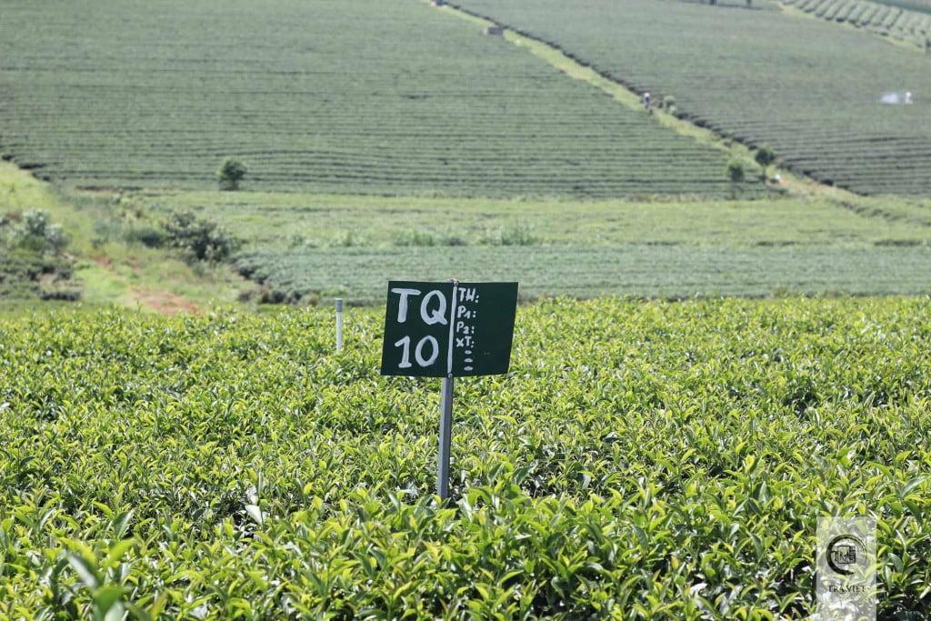 Đồi trà ô Long Bảo Lộc - đồi trà